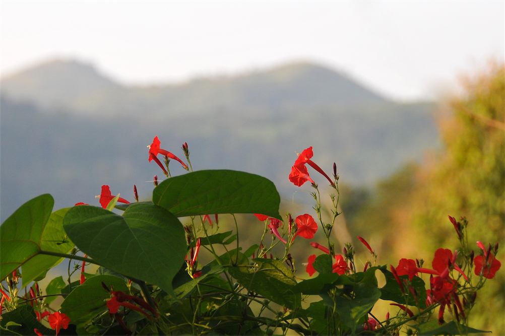 Red trumpet flowers Tsiko 15-mountain background
