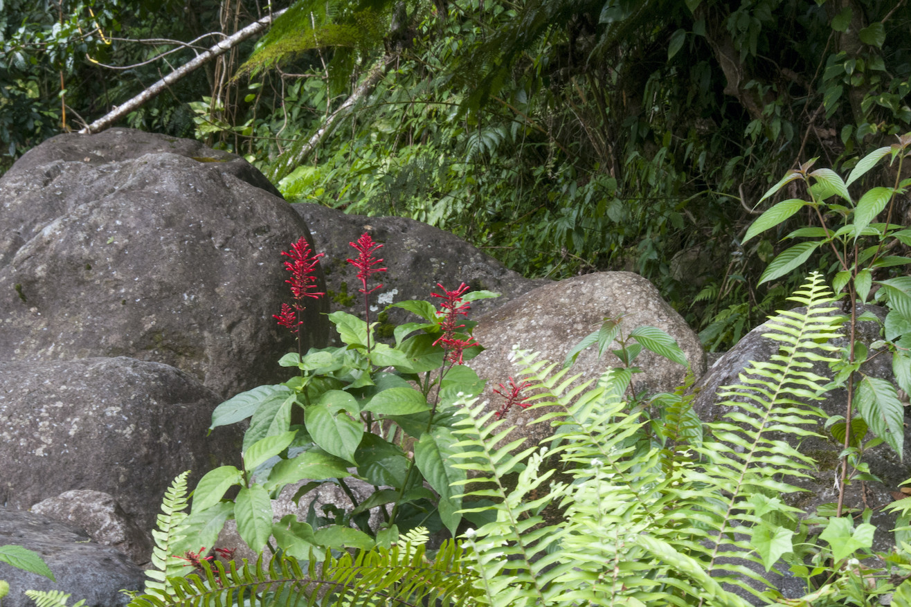 Puerto Rico Rainforest 43-red flower
