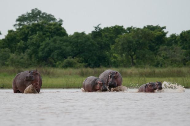 Hippos 6.2020 24