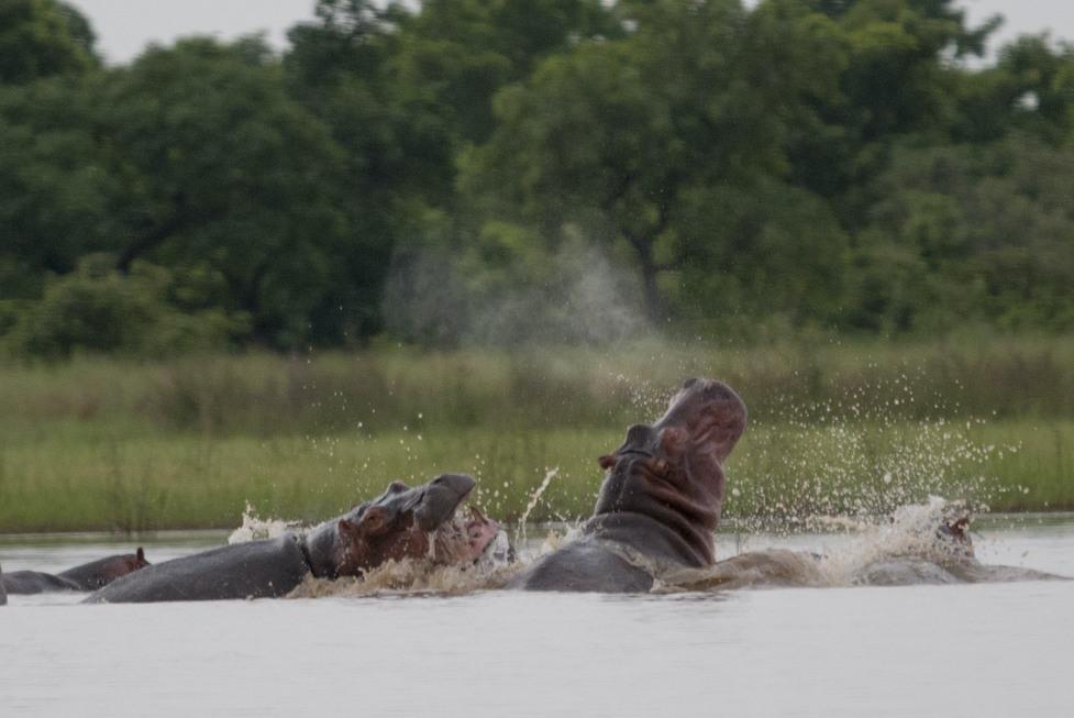 Hippos 6.2020 54-fight